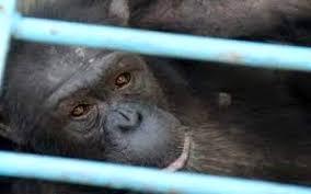 کرمی: نتیجه کالبدشکافی شامپانزه پارک ارم مشخص نشده است