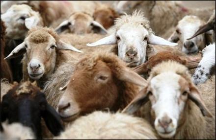 سازمان دامپزشکی درباره حضور گله گوسفندان در فرودگاه امام اطلاعیه داد