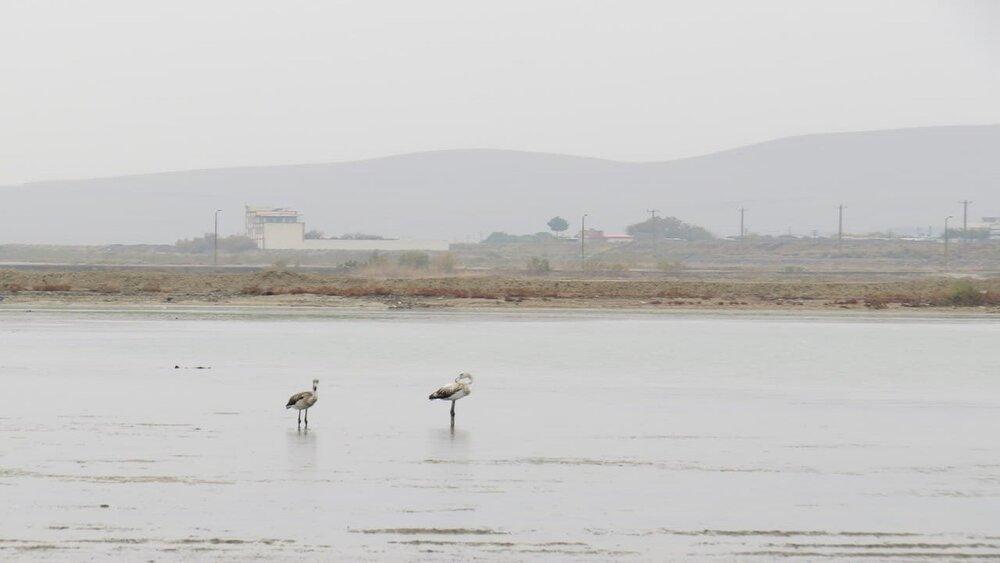 فلامینگوهای مهاجر به دریاچه ارومیه آمدند